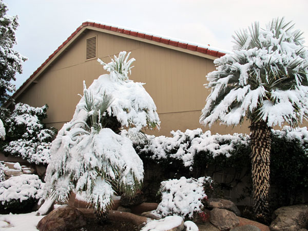 Snow-Covered Palms at the Side of our House